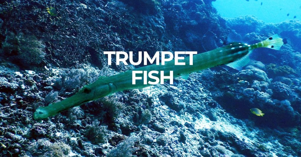 scuba diving holiday Bali - dive with a trumpet fish in Bali